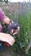 Apie juozažoles (vaistinis isopas)